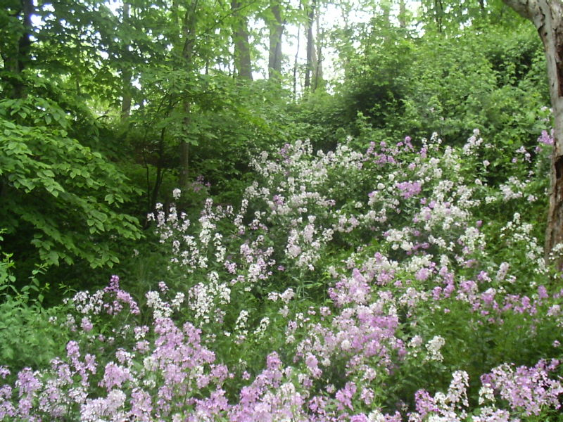Smell The Phlox